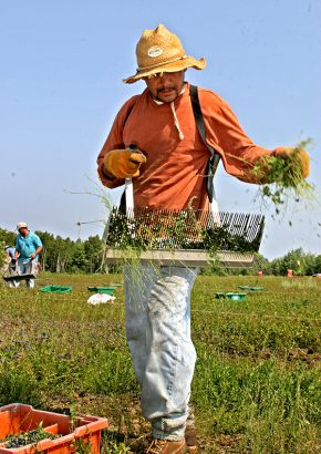 migrant worker with blueberry rake