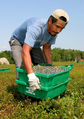 migrant worker with crate of blueberries
